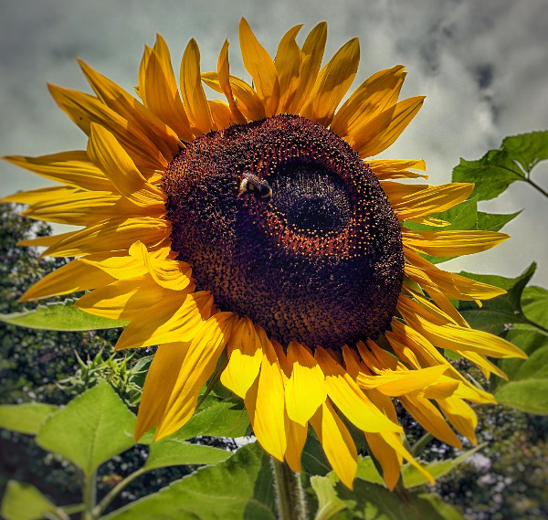 Sunflower BB Costiera dei Cech
