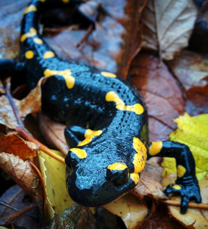 Il vento, le foglie, la pioggia ed una salamandra