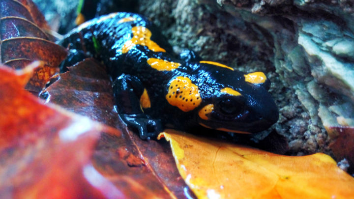 Salamandre, funghi e noci. 4 fotografie autunnali